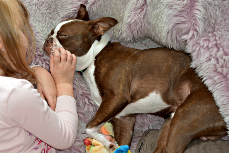 Buying a Boston Terrier Puppy